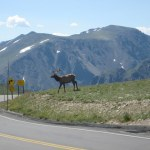 An elk waiting to cross the road.
