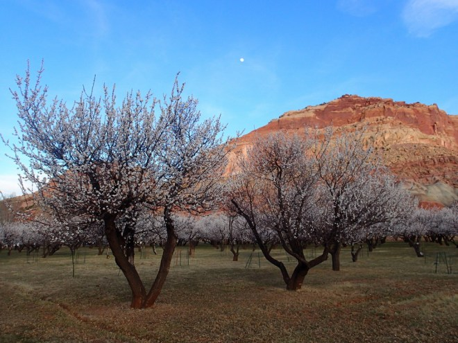 Red Rock and Blossoms