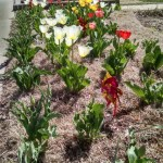 April 25th - Tulips Blooming.