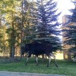 The moose we saw on our last day.