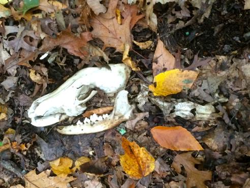 coyote skeleton