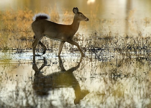 white-tailed deer (public domain image)