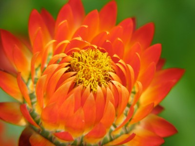 Xerochrysum bracteatum ~ Strawflower , Everlasting ~ Health Benefits and Uses | Auntie Dogma's ...