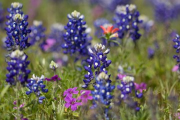 texas star indian paintbrush bluebonnet facts interesting