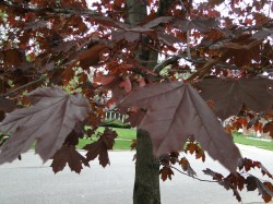 Small Of Crimson King Maple