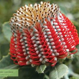 austraflora-2013-calendar-banksia-coccinea