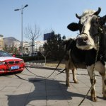 BMW owner protests with cow 2