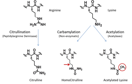 Post-translational-modifications of vimentin peptides