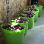 Buckets of Apples by bulkhead