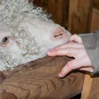 La laine mohair sur la route de Murol!