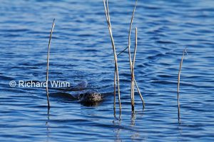 Otter Swimming Through Reeds