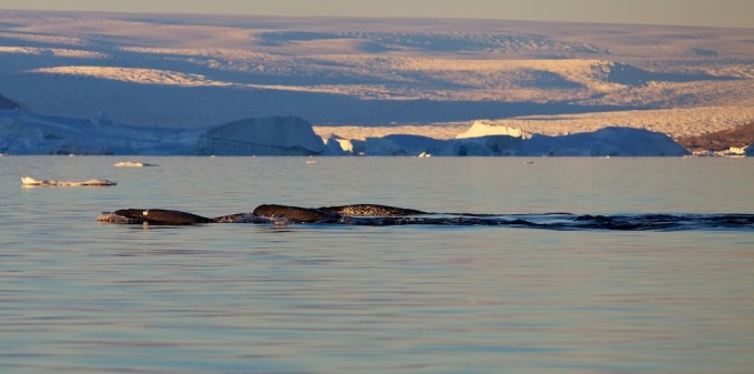 Voyage of the Narwhals. Northern Greenland. Photo © Galya Morrell