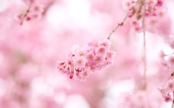 Small Of Cherry Blossom Wallpaper
