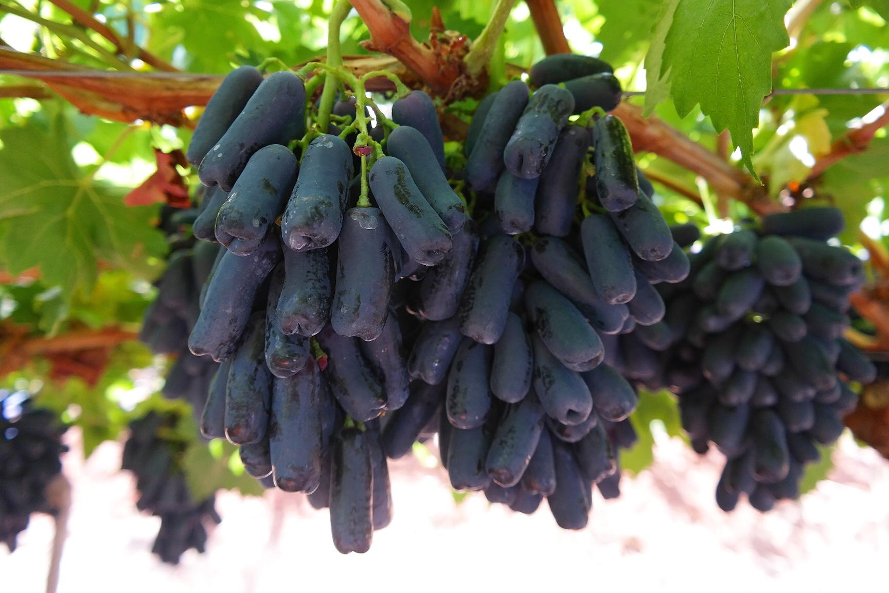 Fullsize Of Moon Drop Grapes