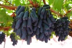 Small Of Moon Drop Grapes