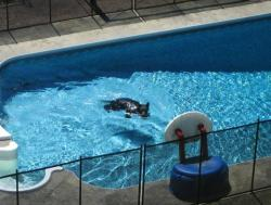 Black Bear in North Shore Swimming Pool