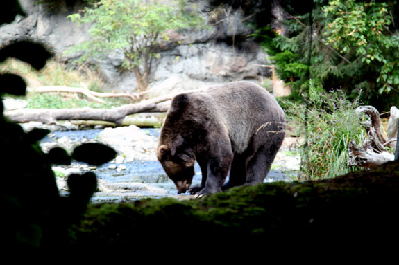 Immersive Black Bear Habitat at Woodland Park Zoo Seattle
