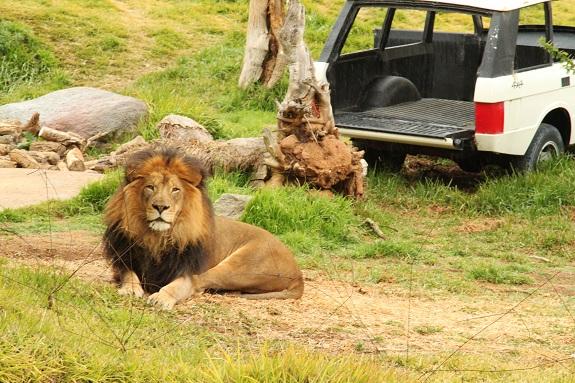 Lion at San Diego Safari Park