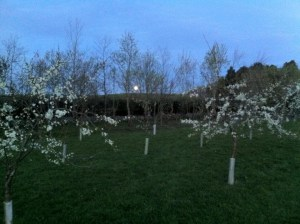 Dusk over the orchard where several varieties of  native Scottish Apple trees have been planted