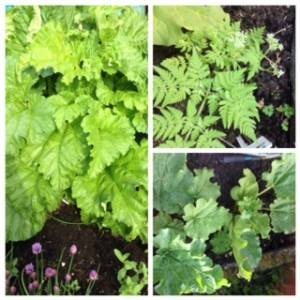 Rhubarb and Sweet Cicely are side by side and the rhubarb is growing magnificently.