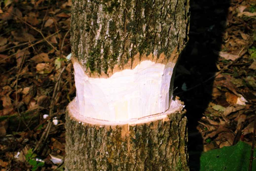 An Incredibly Simple Way To Kill A Tree