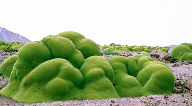 This Green Slime Like Thing is a 3000 Year Old Plant