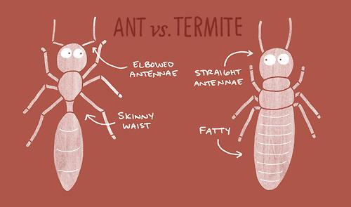 ant vs termite