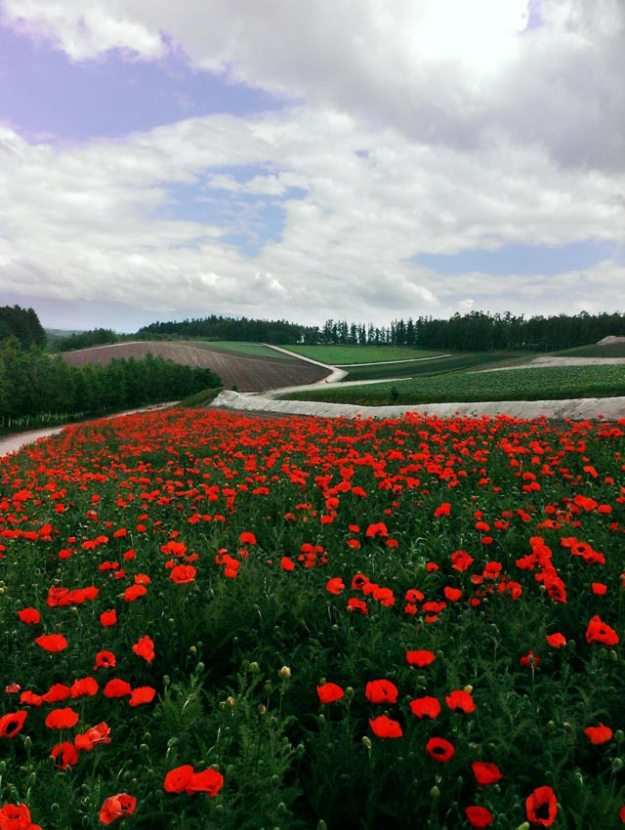北海道6月美瑛-四季彩之丘