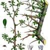 gugul_tree