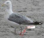 no leg seagull