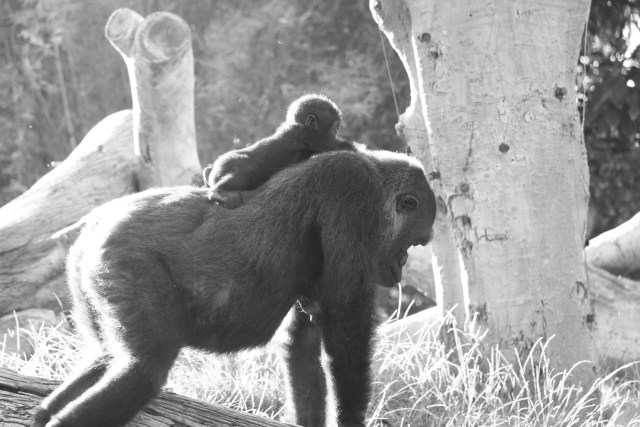 More baby gorilla, because this is my blog and I say so.