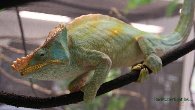 Calumma parsonii - biggest chameleon in the world