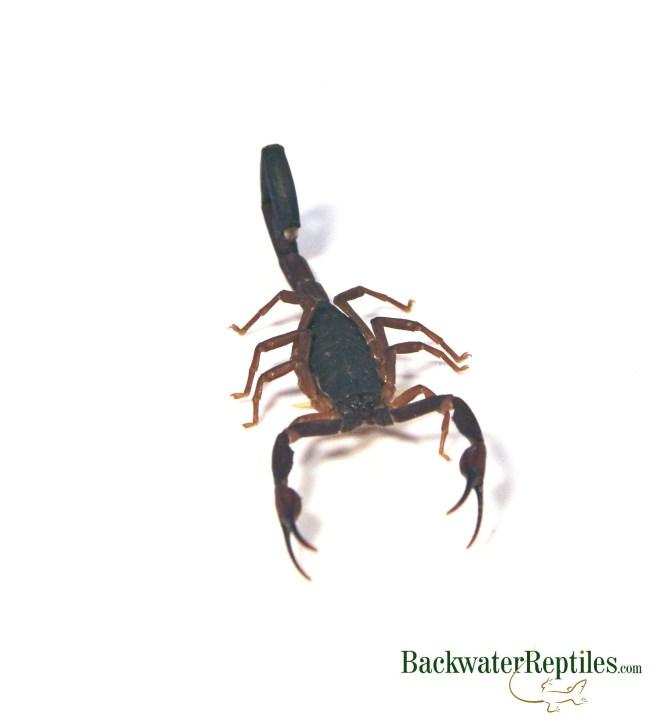 Florida bark scorpion care