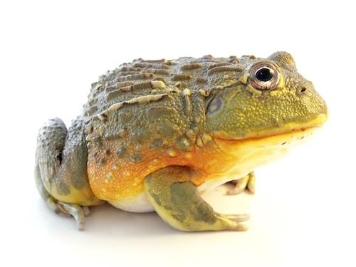 adult pixie frog