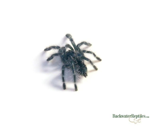 antilles pink toe tarantula care