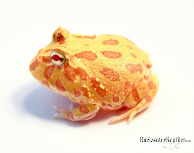 baby albino pacman frog
