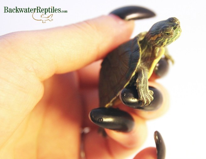 baby red ear slider