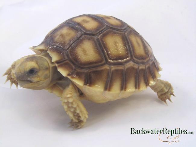 baby sulcata tortoise care
