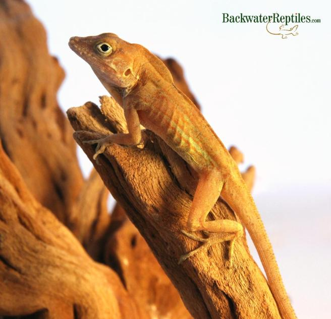 Best pet anole lizards