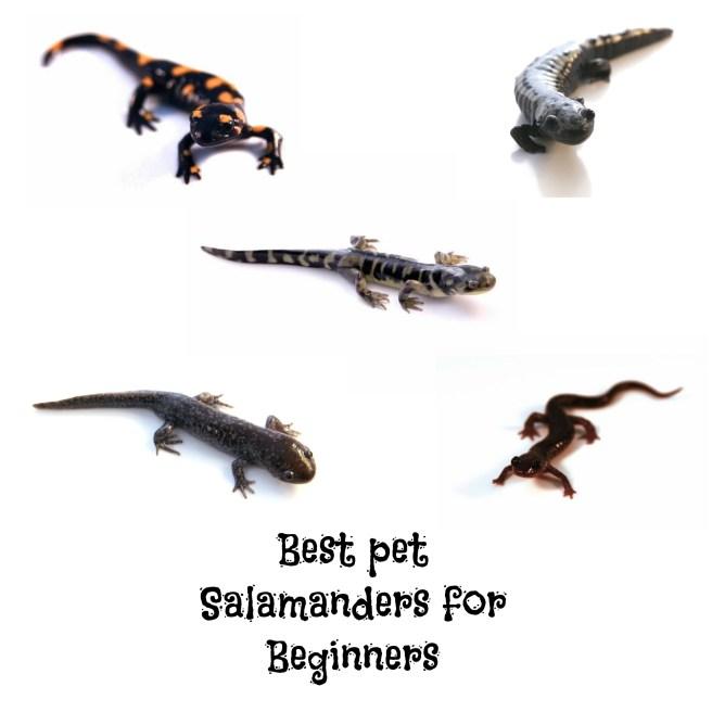 Best Pet Salamanders for beginners