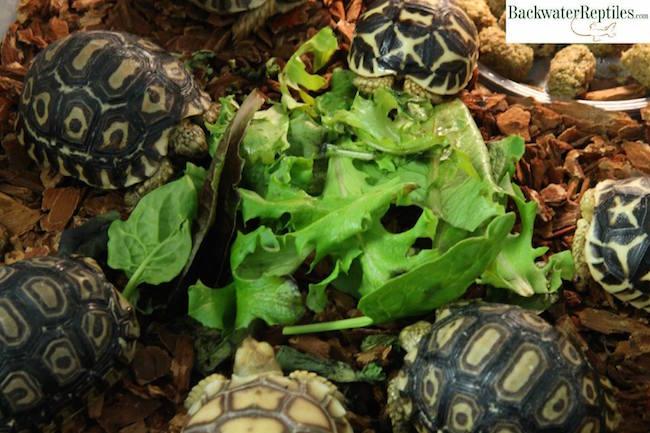 best pet tortoises
