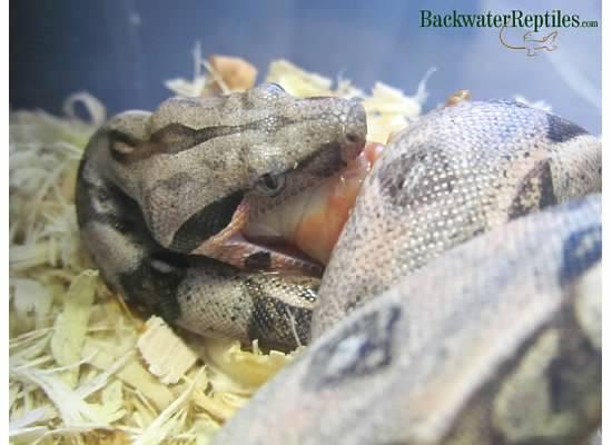 boa constrictor eats pet