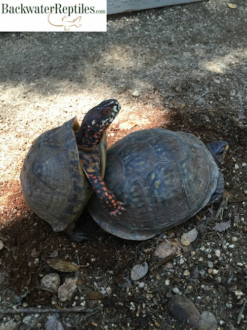 box-turtles-mating