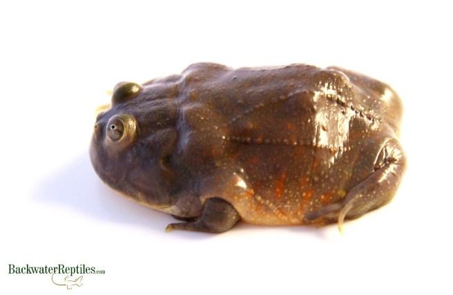 Lepidobatrachus laevis