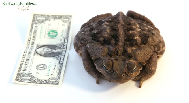 cane-toad-size