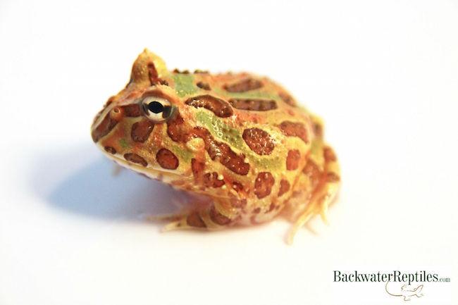 chocolate mint pacman frog morph