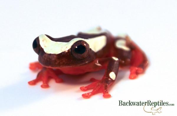 best pet frog
