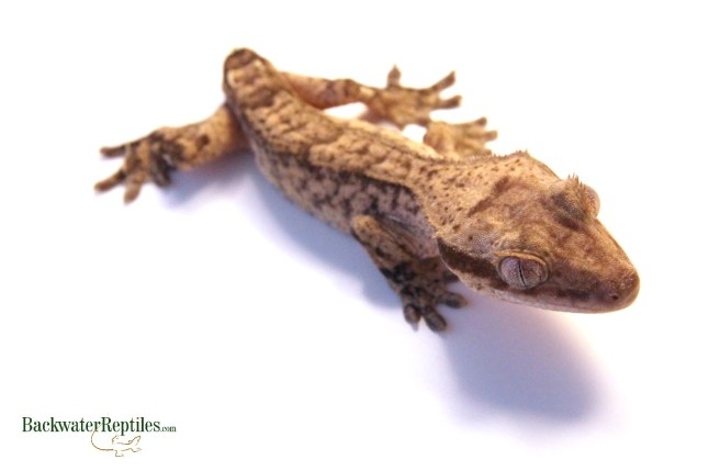 crested gecko tail loss