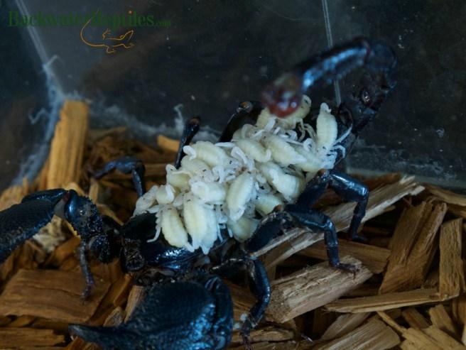 dictator scorpion babies
