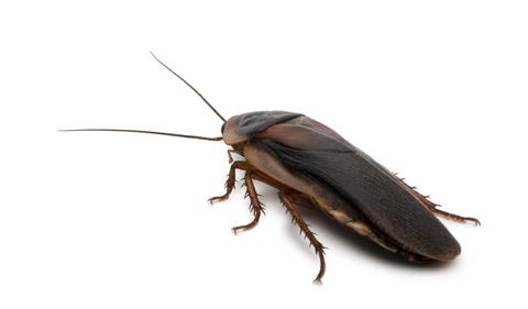 dubia roach